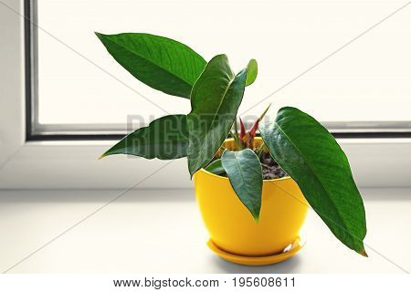 Potted plants. Anthurium in yellow pot. Flower on the windowsill