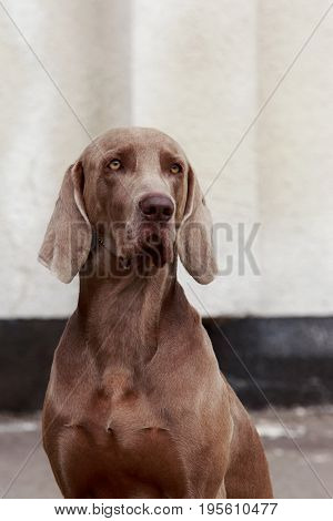 The portrait dog breed Weimaraner close-up on open air