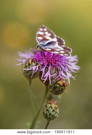 Close up of a butterfly resting on a purple knapweed flower.