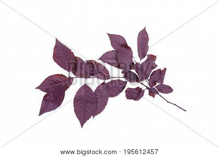 Dark purple plum leaves isolated over the bright white background. Colorful foliage on a thin branch. Organic fresh healthy leaf. Freshness and nature concept.