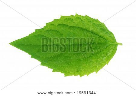 green leaf on a white Summer, Nature, Spring, Fresh, Detail, Environment,