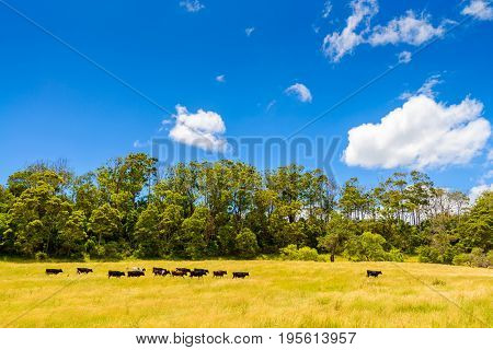 Farmland with grazing dairy cows along the Great Ocean Road