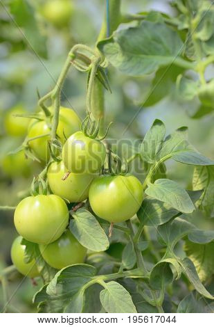 Unripe tomatoes growing in a greenhouse, close up