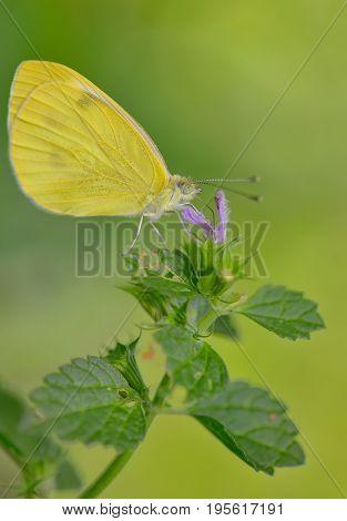 Macro Sulphur Phoebis Agarithe Butterfly, close up
