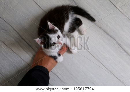 Cute black and white kitten is lying on a womans leg