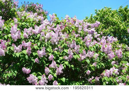 Lilac. Purple Lilac flowers. Blooming bush of purple lilacs in spring. Beautiful flowers of lilac.