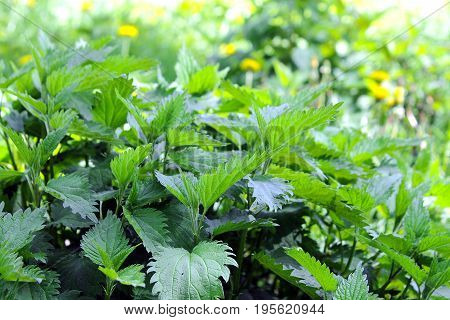 nettle is used for making beverages, seasoning for many dishes and as a medicinal plant