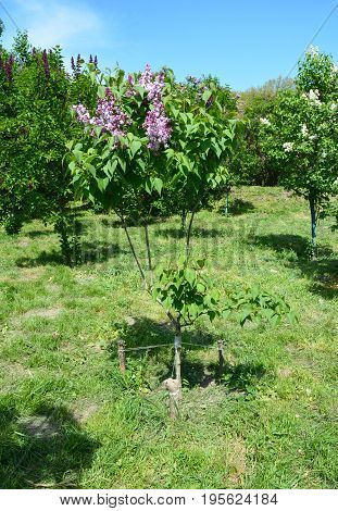 Lilac tree. Purple Lilac flowers. Blooming bush of purple lilacs in spring. Beautiful flowers of lilac tree.