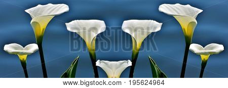 Close up of wilde Calla on a lake