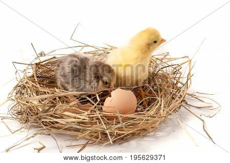 two baby chicken with broken eggshell in the straw nest on white background.