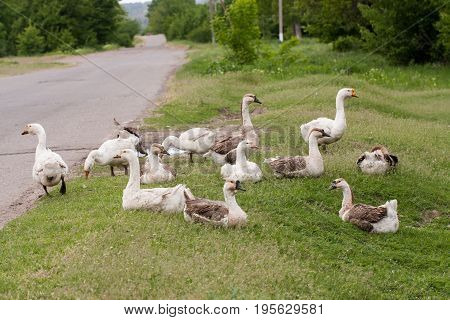 Flock of geese on the grass near the road.