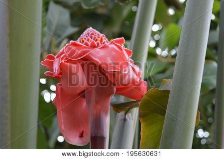 A red torch ginger plant growing in the garden