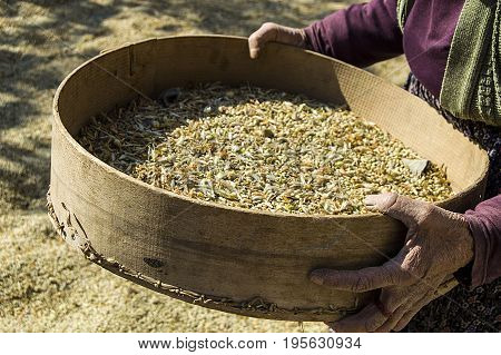 Natural and organic green lentils will be hand-cleaned and packaged ...