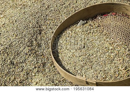 The green lentils harvested naturally and organically were left to dry, Dry green lentils waiting to be cleared from foreign plants
