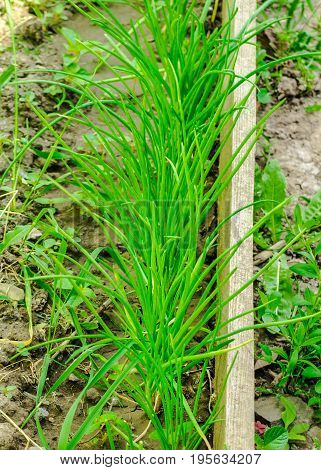 Bed with a green onions growing in a kitchen garden. The garden with young onions, healthy food.