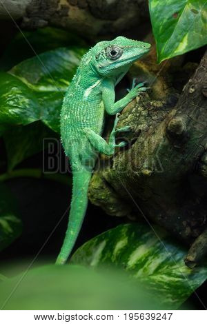 Knight anole (Anolis equestris), also known as the Cuban knight anole.
