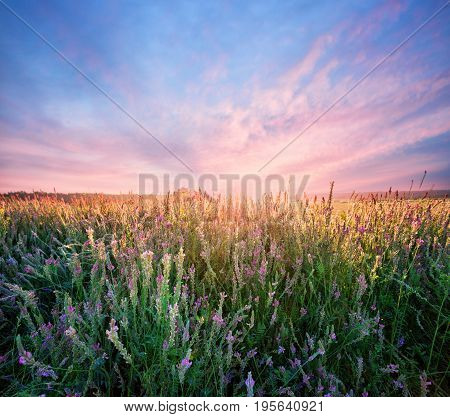 Field with alfalfa flowers at dawn. Rural landscape. The concept of a new day, growth and freedom.