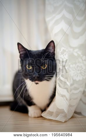 Black with white young cat with green eyes sits at a curtain