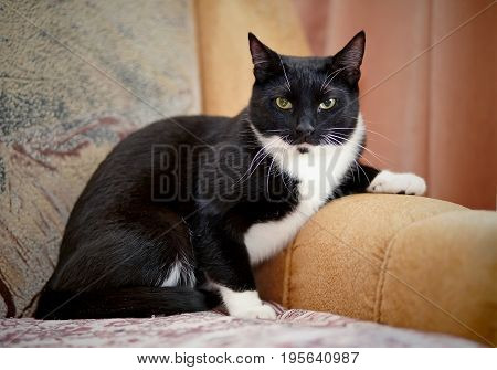 The important black-and-white cat sits on a sofa.