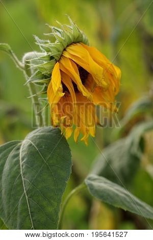 Withered yellow sunflower on blurred green background.