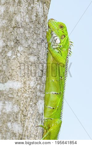Green Lizard On A Tree Trunk, Known As Iguana
