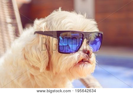 Lhasa Apso Dog Taking Sunbath And Wearing Blue Sunglasses