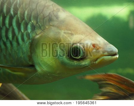Face of Perch Perca fluviatilis in the Blue in the water