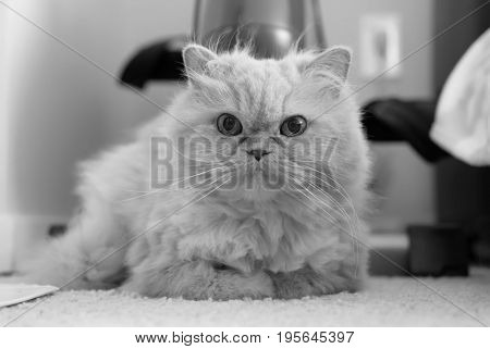 Cute persian cat laying on carpet with black and white toned