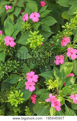 Pink Busy Lizzie flowers with green leave.