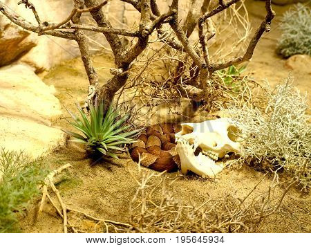 Cow skull and corn snake in the desert with globemallow flowers