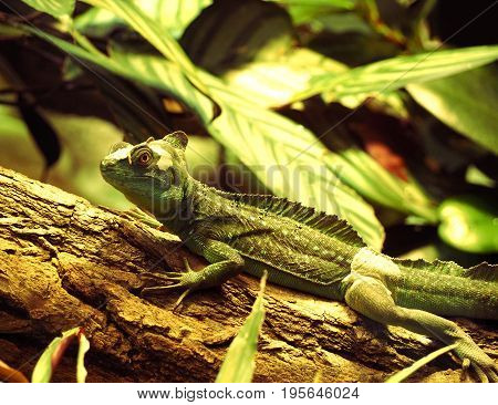 Large green iguana in a terrarium on the log