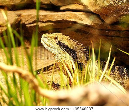 Large broun iguana Peeping out of the grass