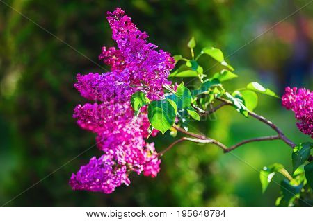 Photo of spring lilac violet flowers and green leaves. Shallow depth of field. Selective focus.