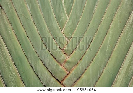 Banana leaf rocking motion Waving fanned by strong winds Under sunny daytime Green banana leaves, cut the blue sky, very beautiful, Traveler palm leaf background in nature weave pattern (Banana fan)