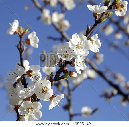 Spring Flowering Of Trees