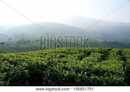 Kemuning Tea Plantation is located in Central java, Indonesia