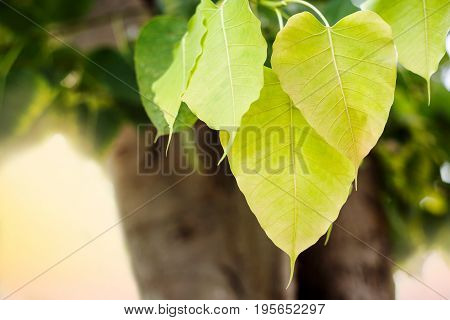 beautiful fresh Bo leaf background with sunlight