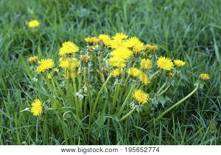 Growing Dandelion Grass
