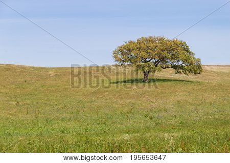 Cork Tree Alone In A Farm Field In Vale Seco, Santiago Do Cacem