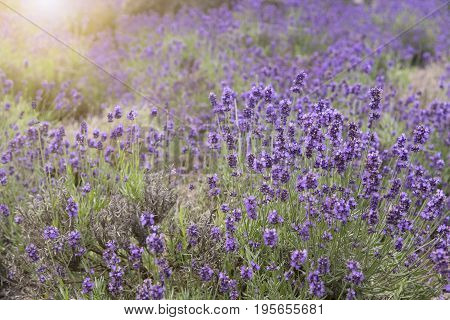 beautiful violet lavender flower field in garden.