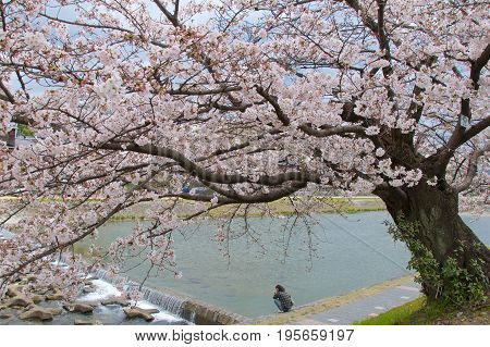 Kyoto, Japan - May 2017 : Man resting on Kamo riverbank with cherry blossom tree in Kyoto, Japan