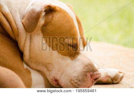 Pitbull derrier taking an afternoon nap on a sunny day