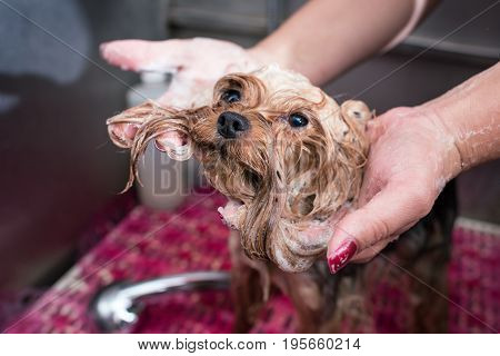 Close-up Partial View Of Groomer Washing Cute Furry Yorkshire Terrier