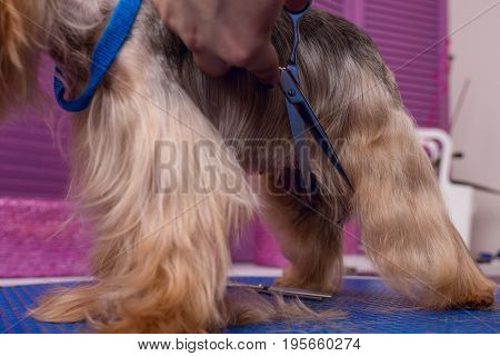 Cropped Shot Of Professional Groomer With Scissors Cutting Fur Of Cute Yorkshire Terrier Dog