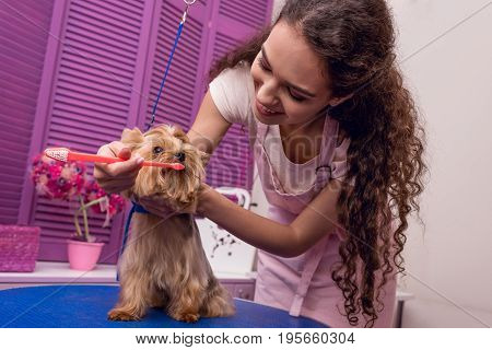 Smiling Professional Groomer Holding Toothbrush And Brushing Teeth Of Small Dog In Pet Salon