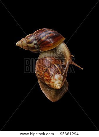 gastropod snail winkle isolated on black background.