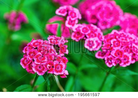Blooming pink phlox paniculata flowers in the garden. Flowering herbaceous plants. Shallow depth of field. Selective focus.