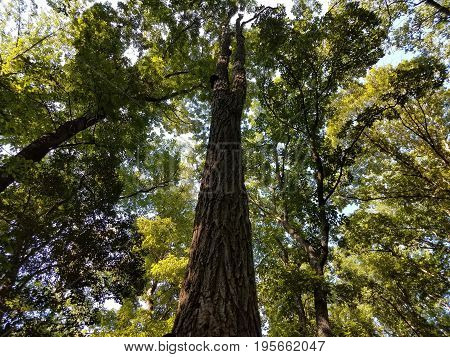 looking up at tall tree with green leaves in the woods