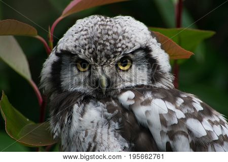 The northern hawk-owl (Surnia ulula) is a non-migratory owl that usually stays within its breeding range though it sometimes irrupts southward. It is one of the few owls that is neither nocturnal nor crepuscular being active only during the day.