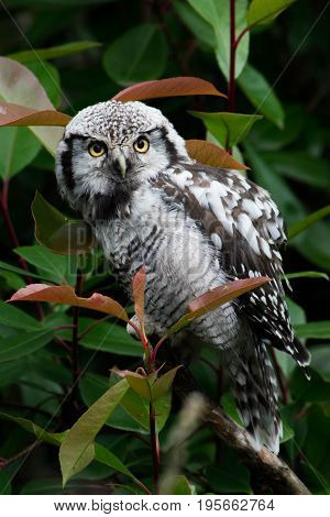The northern hawk-owl (Surnia ulula) is a non-migratory owl that usually stays within its breeding range, though it sometimes irrupts southward. It is one of the few owls that is neither nocturnal nor crepuscular, being active only during the day.